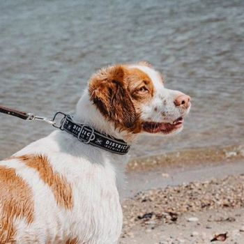 He likes long walks on the beach in his District Dog Collar 🌊 ➖ About our Dog Collars 🐕 | Cycle Dog custom branded dog products are made with reclaimed bike inner-tube rubber and hand-sewn in Portland, Oregon. 50% of the profits from every Distric